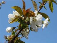 Sakura Blooming is coming faster than ever